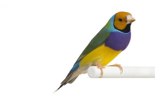 oiseaux-content2-passereau